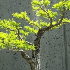 Bonsai ağacı ne kadar zamanda büyür