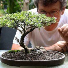 en güzel bonsai nasıl bakılır