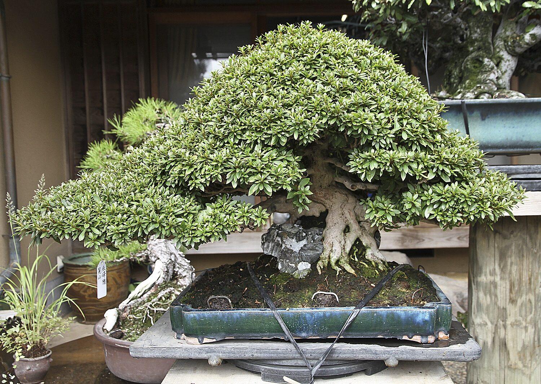 en uygun bonsai ağacı