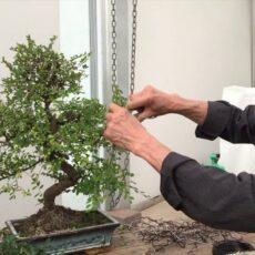 En kolay bonsai budamak
