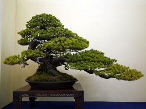 bonsai yetiştirme