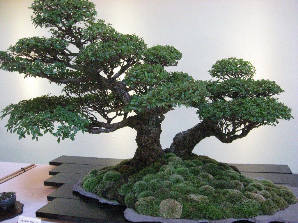 Bonasi ağacı
