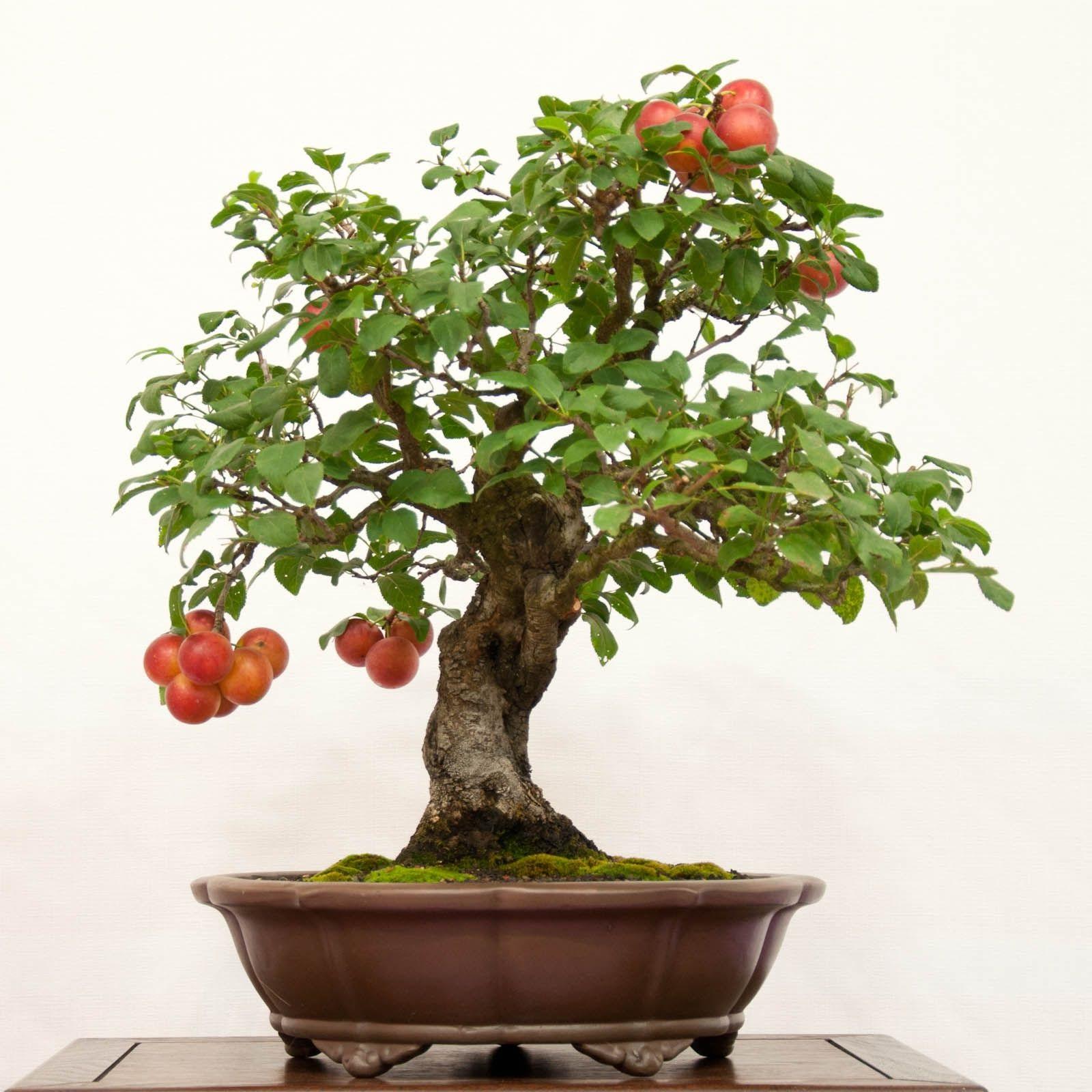 bonsai kırımızı meyve