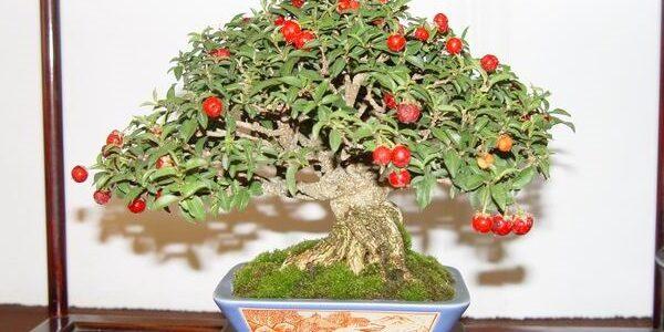 bonsai meyvesi