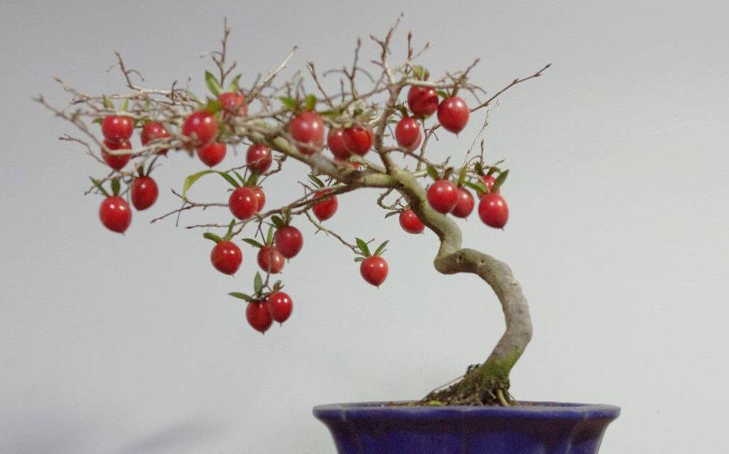 kırmızı bonsai meyvesi