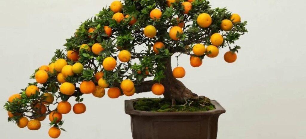 bonsai ağacı meyvesi