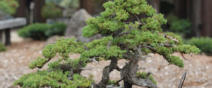 kurumuş bonsai ağacı