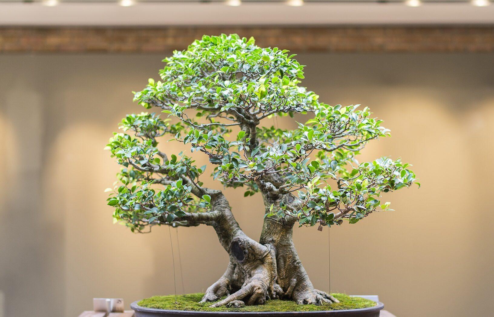 Nandina Bonsai Ağacı detayları