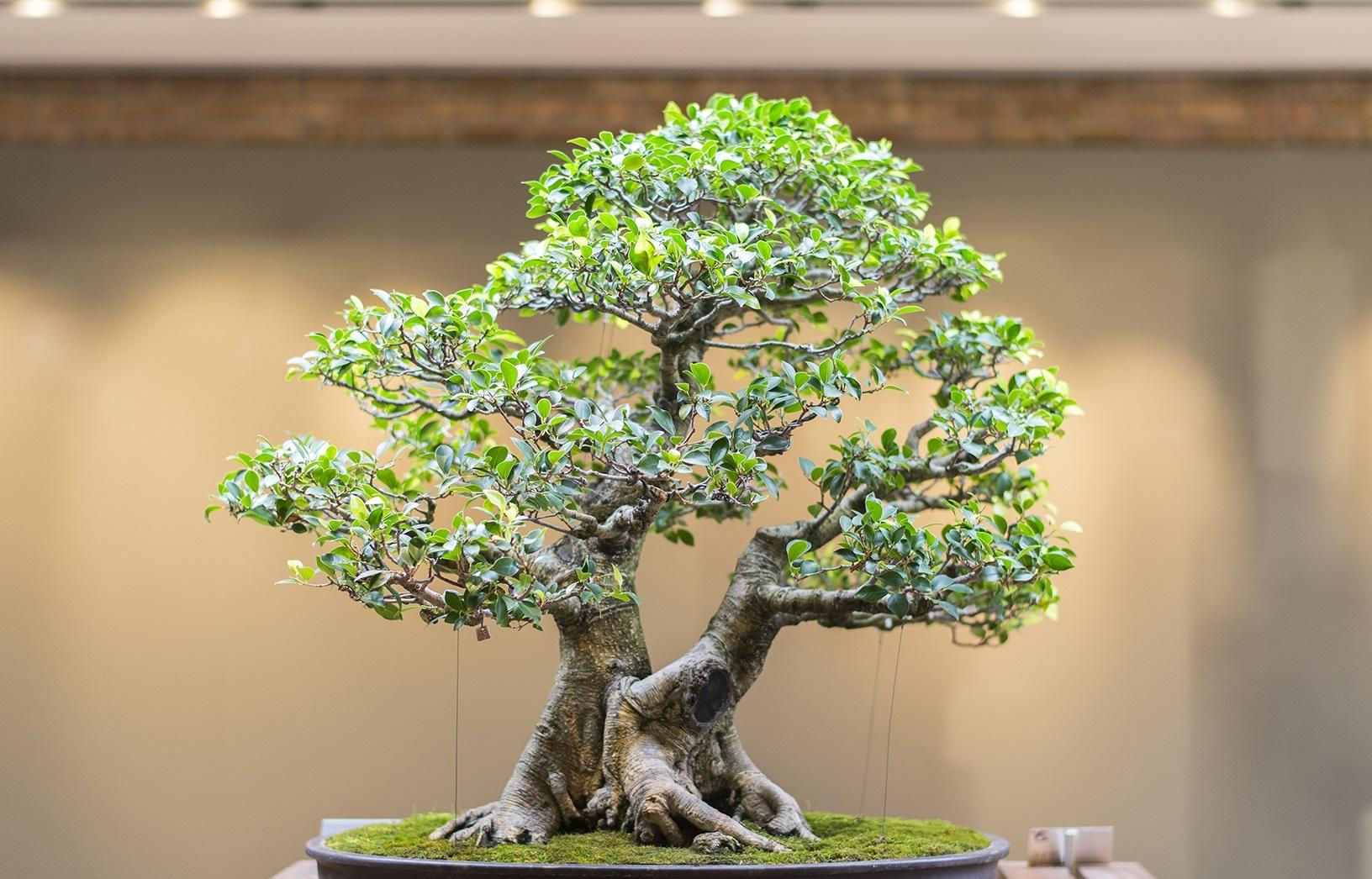 En büyük Bonsai ağacı