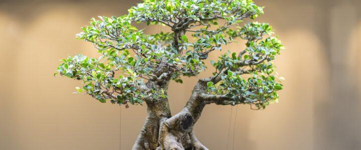 Bonsai ağacı nasıl olmalıdır