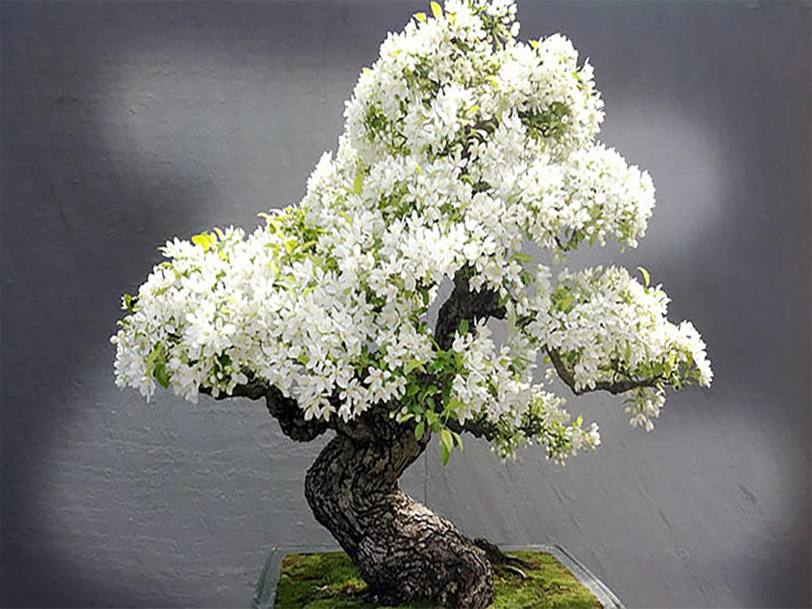 En pahalı bonsai ağacı