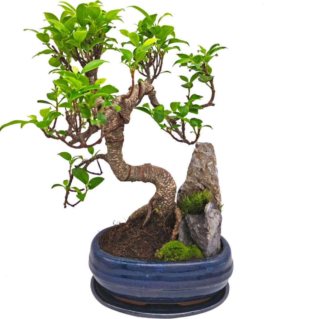 bonsai nasıl sulanır?
