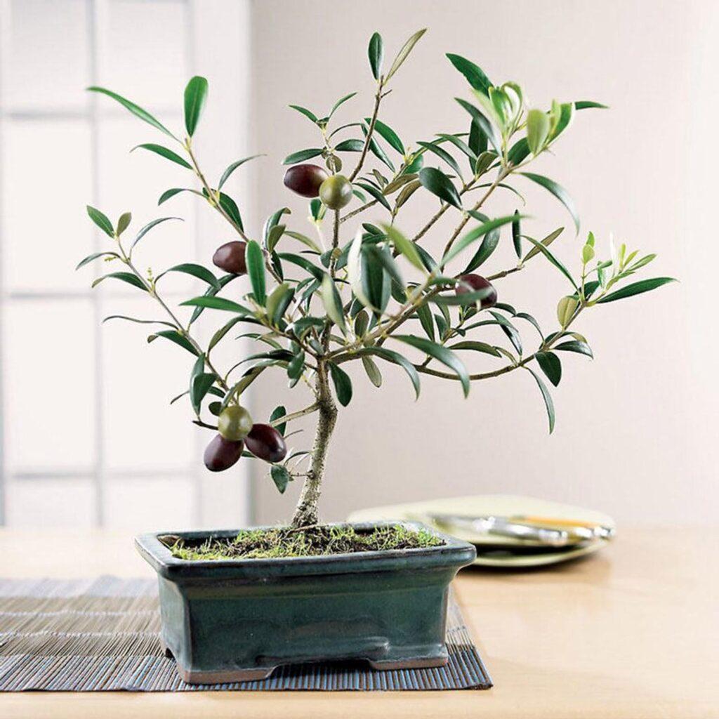 Bonsai zeytin ağacı hakkında