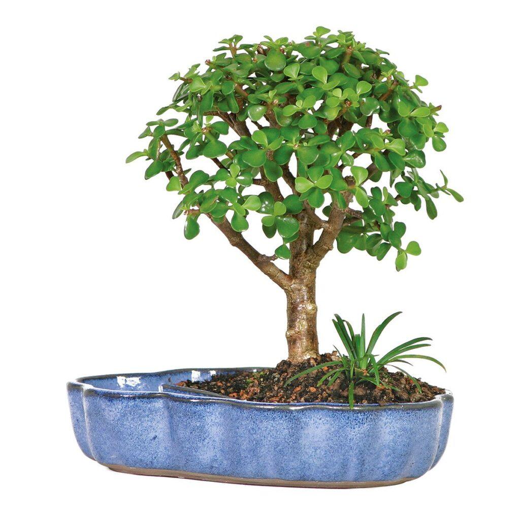 bonsai saksı