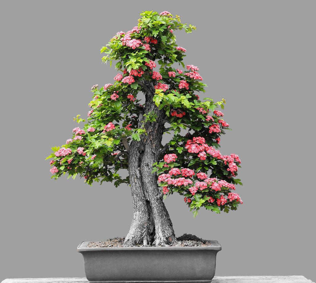 bonsai çiçeği nasıl sulanır?